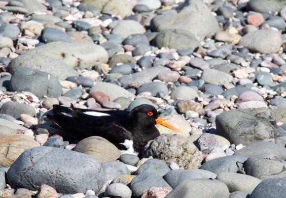 Austernfischer am Strand von Bakkagerði (c) Frank Koebsch (9)
