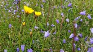 Blumen Islands bei Bakkagerði (c) Frank Koebsch (5)