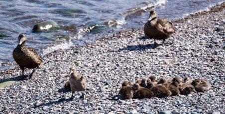 Eiderenten Familie am Strand von Bakkagerði (c) Frank Koebsch (2)
