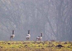 flüchtende Rehe auf Wiesen bei Sanitz (c) Frank Koebsch (9)