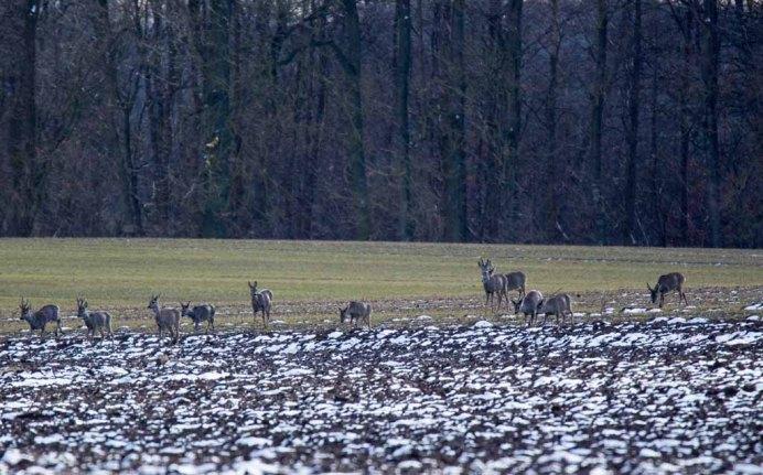 Rehe auf den Feldern bei Sanitz (c) Frank Koebsch (10)