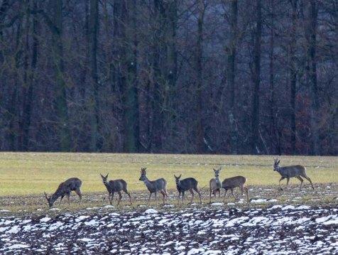 Rehe auf den Feldern bei Sanitz (c) Frank Koebsch (4)