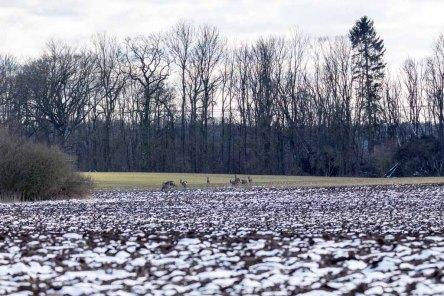 Rehe auf den Feldern bei Sanitz (c) Frank Koebsch (5)