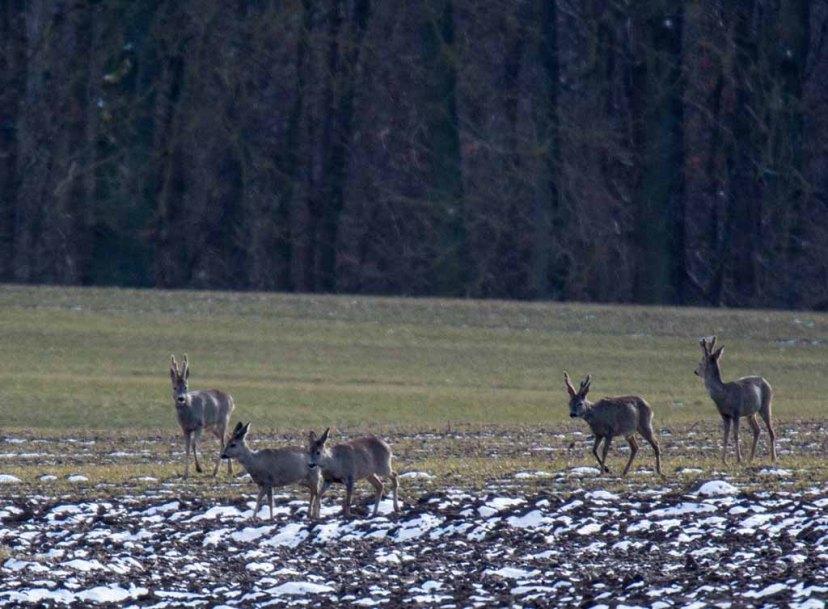 Rehe auf den Feldern bei Sanitz (c) Frank Koebsch (9)