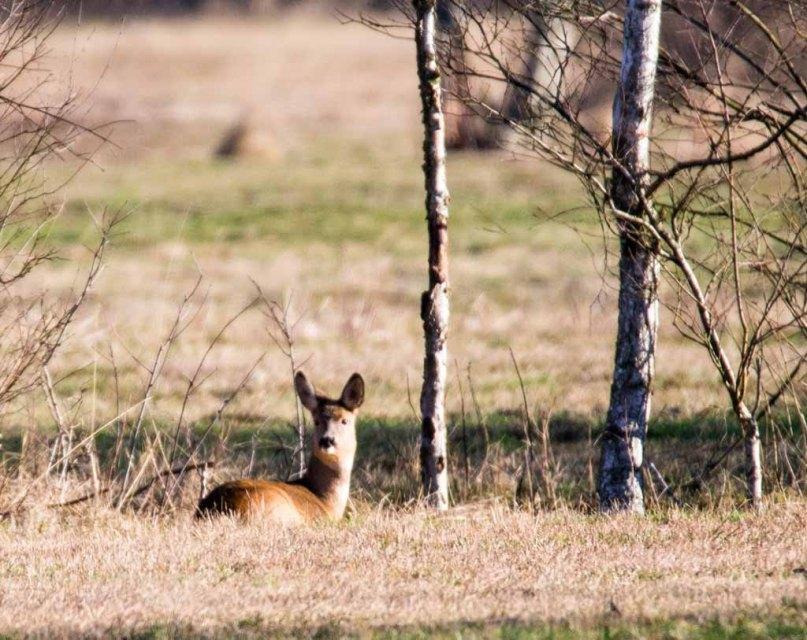 Rehe auf den Wiesen von Sanitz in der Frühlingssonne (c) FRank Koebsch (1)
