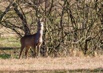 Rehe auf den Wiesen von Sanitz in der Frühlingssonne (c) FRank Koebsch (2)