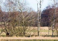 Rehe auf den Wiesen von Sanitz in der Frühlingssonne (c) FRank Koebsch (5)