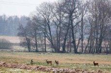 Rehe auf den winterlichen Feldern bei Sanitz (c) Frank Koebsch (6)