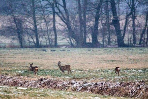 Rehe auf den winterlichen Feldern bei Sanitz (c) Frank Koebsch (7)