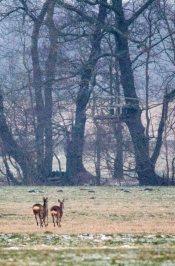 Rehe auf den winterlichen Feldern bei Sanitz (c) Frank Koebsch (8)