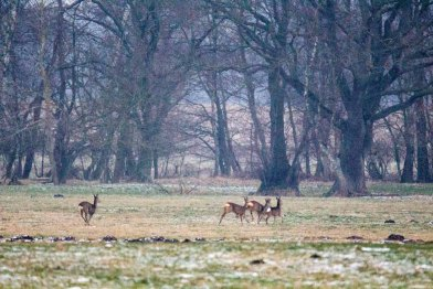 Rehe auf den winterlichen Feldern bei Sanitz (c) Frank Koebsch (9)