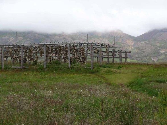 Zum Trocknen auf gehangenen Dorschköpfe in Bakkagerði - Island (c) Frank Koebsch (2)
