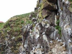 Klippen von Borgarfjarðarhöfn mit Möwen - Island (c) Hanka Koebsch (1)