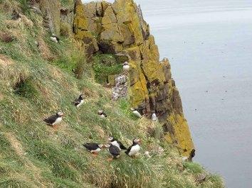 Klippen von Borgarfjarðarhöfn mit Papageitauchern - Island (c) Hanka Koebsch (1)