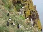 Klippen von Borgarfjarðarhöfn mit Papageitauchern - Island (c) Hanka Koebsch (3)