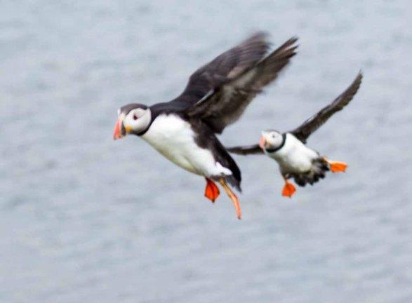 Papageitaucher am Borgarfjarðarhöfn - Island (c) Frank Koebsch (11)