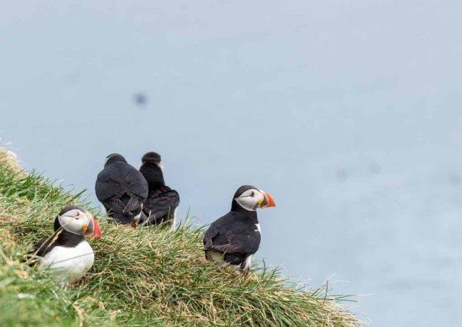 Papageitaucher am Borgarfjarðarhöfn - Island (c) Frank Koebsch (13)