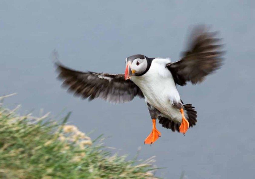 Papageitaucher am Borgarfjarðarhöfn - Island (c) Frank Koebsch (14)