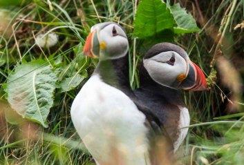 Papageitaucher am Borgarfjarðarhöfn - Island (c) Frank Koebsch (16)