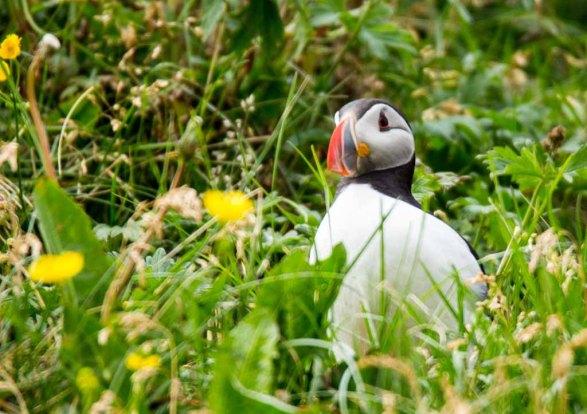 Papageitaucher am Borgarfjarðarhöfn - Island (c) Frank Koebsch (17)