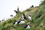 Papageitaucher am Borgarfjarðarhöfn - Island (c) Frank Koebsch (2)