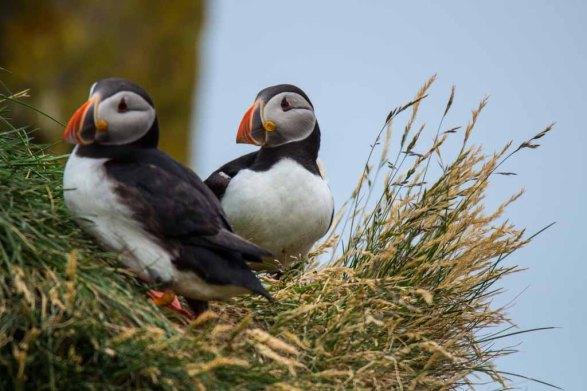 Papageitaucher am Borgarfjarðarhöfn - Island (c) Frank Koebsch (7)