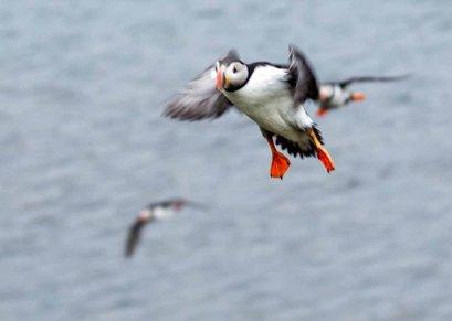 Papageitaucher am Borgarfjarðarhöfn - Island (c) Frank Koebsch (8)