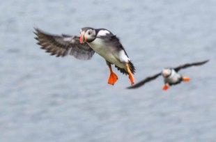 Papageitaucher am Borgarfjarðarhöfn - Island (c) Frank Koebsch (9)