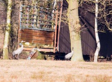 Kraniche auf den Wiesen am Waldrand - Frühling 2019 (c) Frank Koebsch (1)