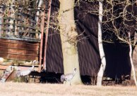 Kraniche auf den Wiesen am Waldrand - Frühling 2019 (c) Frank Koebsch (3)