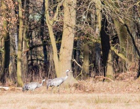 Kraniche auf den Wiesen am Waldrand - Frühling 2019 (c) Frank Koebsch (4)