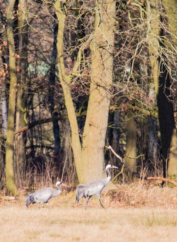 Kraniche auf den Wiesen am Waldrand - Frühling 2019 (c) Frank Koebsch (5)