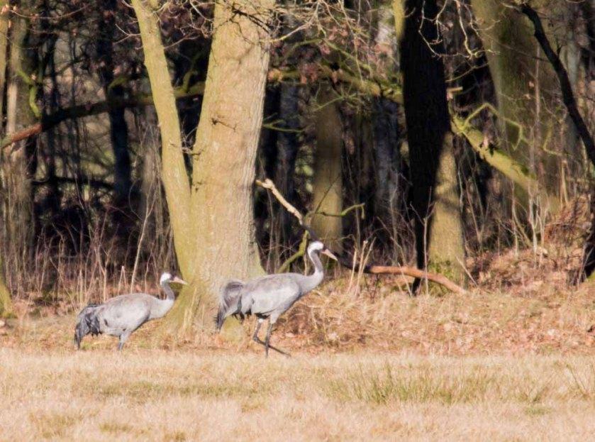 Kraniche auf den Wiesen am Waldrand - Frühling 2019 (c) Frank Koebsch (6)