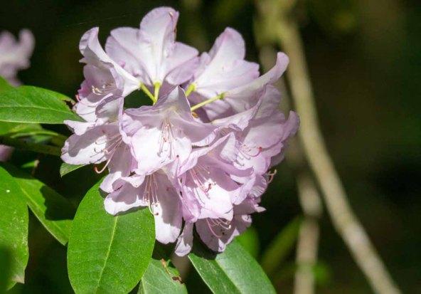 Blüten des Rhododendron im Rostock Zoo (c) FRank Koebsch (1)