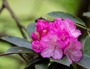 Blüten des Rhododendron im Rostock Zoo (c) FRank Koebsch (2)