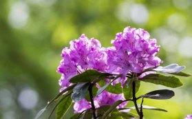 Blüten des Rhododendron im Rostock Zoo (c) FRank Koebsch (4)