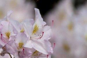 Blüten des Rhododendron im Rostock Zoo (c) FRank Koebsch (5)