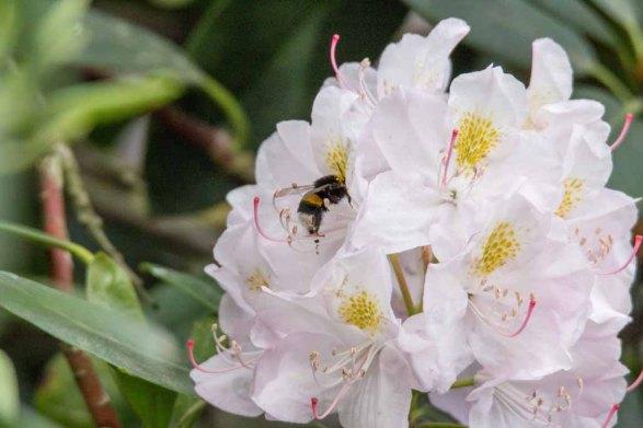 Hummeln auf den Rhododendron Blüten (c) FRank Koebsch (1)