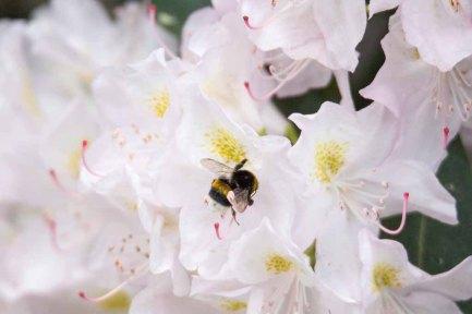 Hummeln auf den Rhododendron Blüten (c) FRank Koebsch (11)