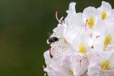 Hummeln auf den Rhododendron Blüten (c) FRank Koebsch (5)
