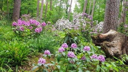 Rhododendren Blüte im Rostock Zoo (c) FRank Koebsch (3)