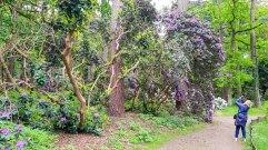 Rhododendren Blüte im Rostock Zoo (c) FRank Koebsch (4)