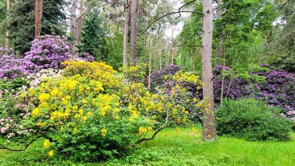 Rhododendren Blüte im Rostock Zoo (c) FRank Koebsch (6)