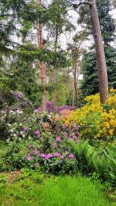 Rhododendren Blüte im Rostock Zoo (c) FRank Koebsch (7)