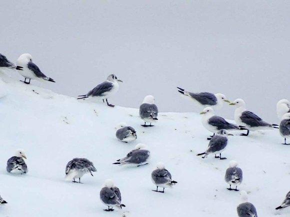 Möwen auf den Eisbergen vor Ilimanaq in der Disko Bucht (1) Hanka Koebsch