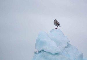 Möwen auf den Eisbergen vor Ilimanaq in der Disko Bucht (2) FRank Koebsch