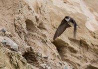 Uferschwalben an der Steilküste der Stroltera (c) FRank Koebsch (1)