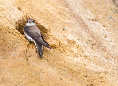 Uferschwalben an der Steilküste der Stroltera (c) FRank Koebsch (12)