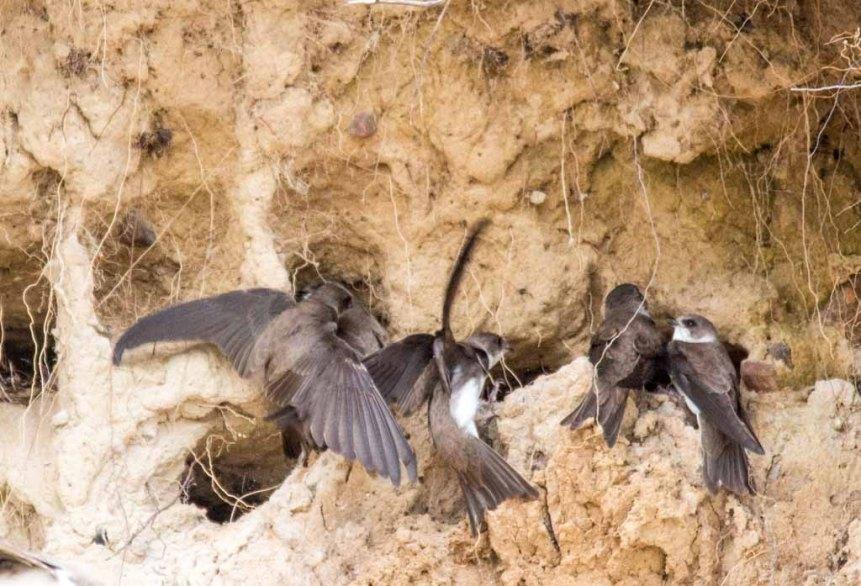 Uferschwalben an der Steilküste der Stroltera (c) FRank Koebsch (14)