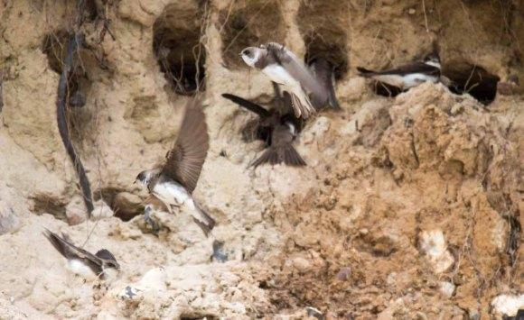 Uferschwalben an der Steilküste der Stroltera (c) FRank Koebsch (18)